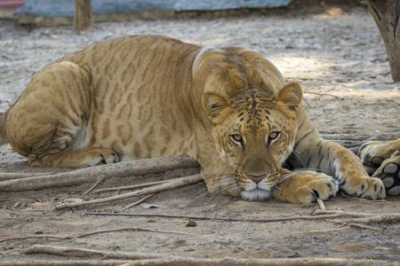 Afbeelding van een liger op de natuur achtergrond. Wilde dieren. Stockfoto