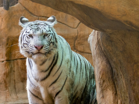 Image of a white tiger on nature background. Wild Animals. Stock Photo