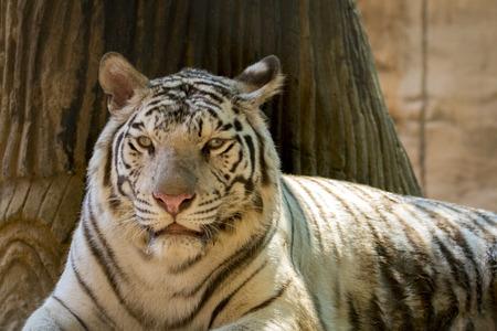 animales silvestres: Imagen de un tigre blanco sobre fondo de naturaleza. Animales salvajes.