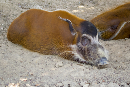Image of red river hog on the ground. Wild Animals.