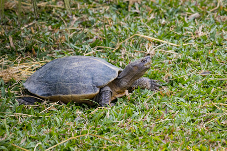 Image of a turtle on the grass. Amphibians.