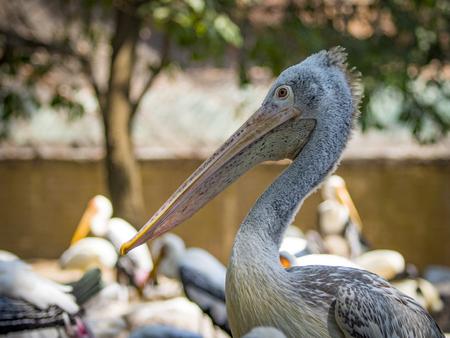 Image of Spot-billed pelican ( Pelecanus philippensis). wild animals.