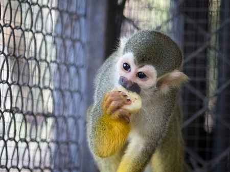 Image of a squirrel monkey in the cage. Wild Animals.