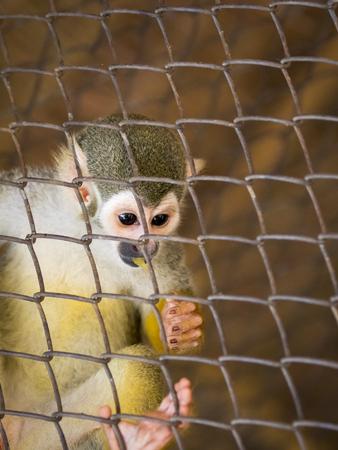 Wild Animals: Image of a squirrel monkey in the cage. Wild Animals.