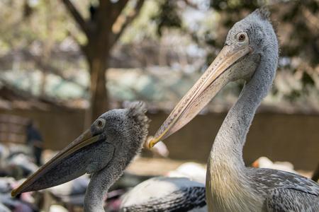 seabird: Image of Spot-billed pelican ( Pelecanus philippensis). wild animals.