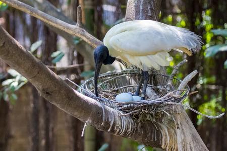 Wild Animals: Image of Black-headed ibis bird hatching (Threskiornis melanocephalus). wild animals.
