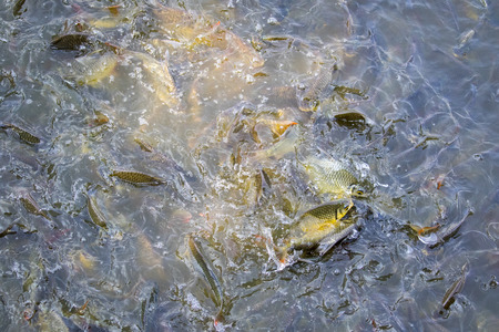 cyprinidae: Image of a fish herd in the water(Java barb, Silver barb). Aquatic animals