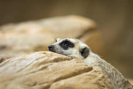 Image of a meerkat or suricate on nature background. Wild Animals.