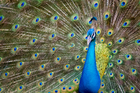 Wild Animals: Image of a peacock showing its beautiful feathers. wild animals.
