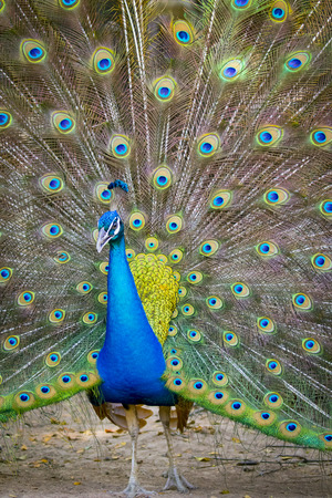 thai dancing: Image of a peacock showing its beautiful feathers. wild animals.