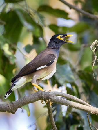 common myna bird: Image of common mynah bird on the branch on nature background. Wild Animals.