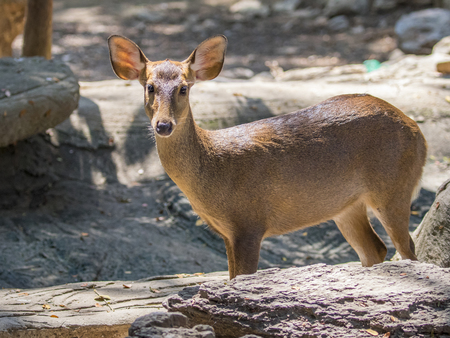 khaoyai: Image of a deer on nature background. wild animals.