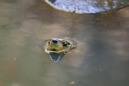 Image of a mud turtle head on water. Amphibians animals. Stock Photo
