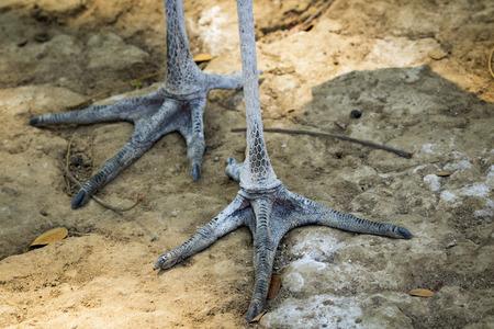 Image of a Lesser adjutant stork foot. wild animals.