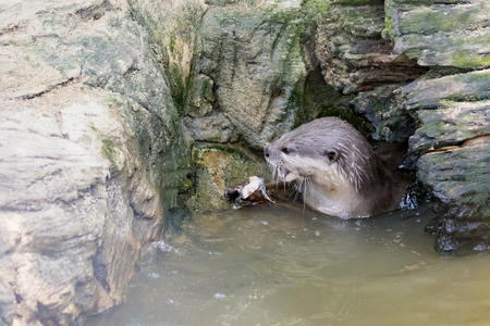 aonyx cinerea: Image of an otters feeding on the water. Wild Animals.