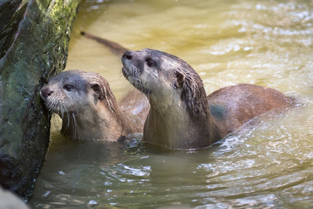 small clawed: Image of an otters on the water. Wild Animals.