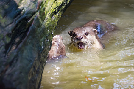 aonyx cinerea: Image of an otters on the water. Wild Animals.