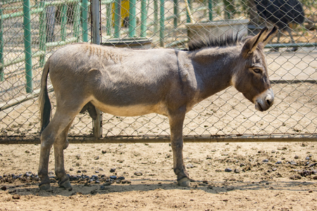 jackass: Image of a donkey in the cage. Wild Animals.