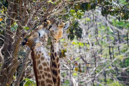 Image of two giraffe on nature background. Wild Animals.