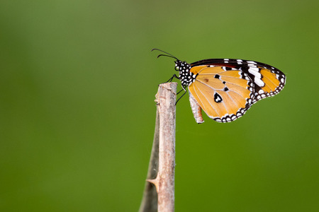 Image of butterfly on nature background. (Common tiger butterfly) Insect Animals. Stock Photo