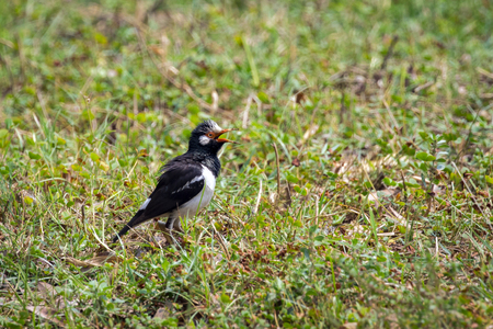 pied: Image of bird (Asian Pied Starling) on green grass field.