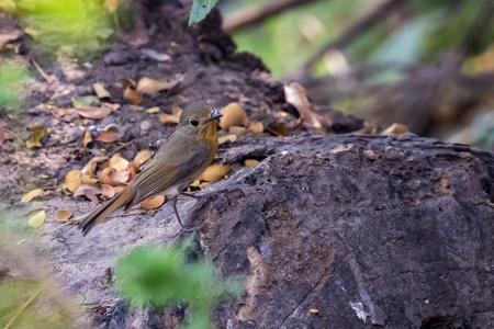 Image of bird Pin-striped Tit Babbler ( Macronus gularis ) on natural background.. Wild Animals.
