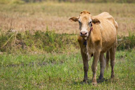 Image of brown cow on nature background. Animal farm