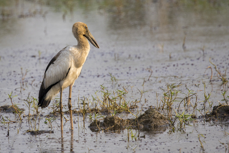 anastomus: Image of Asian openbill stork on natural background. Wild Animals.