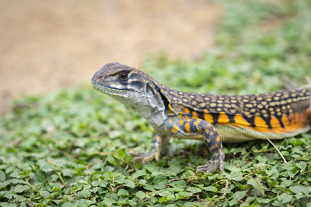 very cold: Image of Butterfly Agama Lizard (Leiolepis Cuvier) on the green grass. Reptile Animal