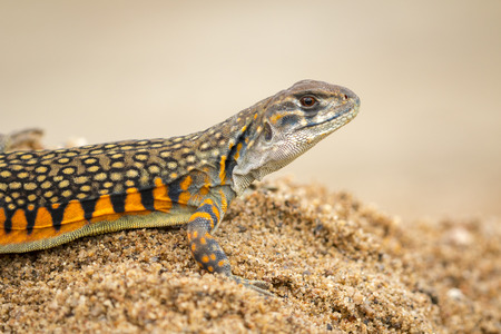 Image of Butterfly Agama Lizard (Leiolepis Cuvier) on the sand. Reptile Animal Stock Photo