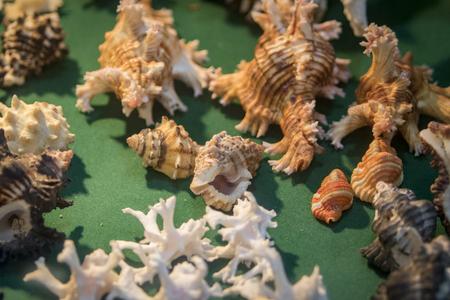 noix saint jacques: Image de la collection Seashell. Beaucoup de coquilles différentes.