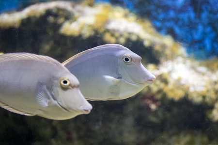 Image of Bluespine unicornfish (Naso unicornis). Wild life animal.