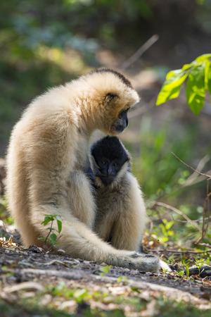 Image of white-cheeked gibbons on nature background. Wild Animals.
