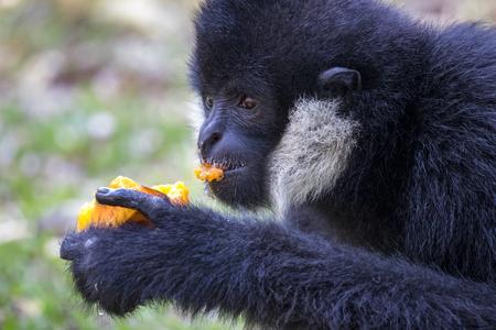 Image of black gibbon (White-Cheeked Gibbon) eating food on nature background. Wild Animals. Stock Photo