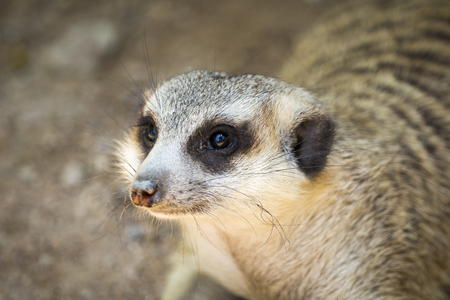 Image of meerkat or suricate on nature background. Wild Animals.