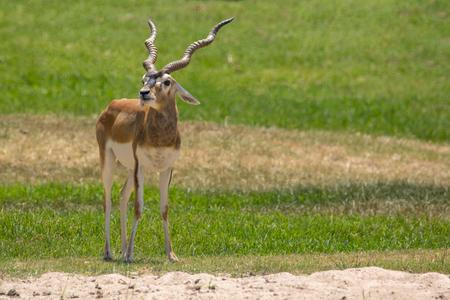 Beeld van impalamannetje (Aepyceros-melampus) op aardachtergrond. Wilde dieren.