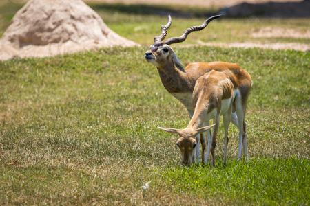 Image of Impala male and impala female (Aepyceros melampus) on nature background. Wild Animals. Stock Photo