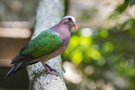 perforated: Image of bird (Common Emerald Dove) on nature background.  Animals. Stock Photo