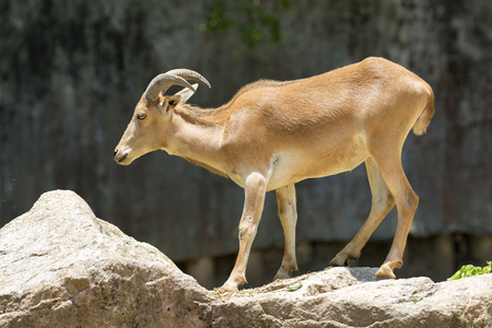 Image of a mountain goats standing on a rock. Wild Animals.