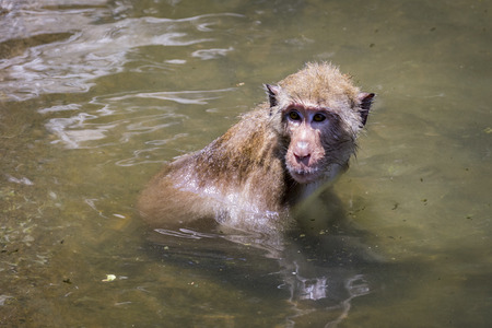 lave: Image of a monkey in the water. Wild Animals. Stock Photo