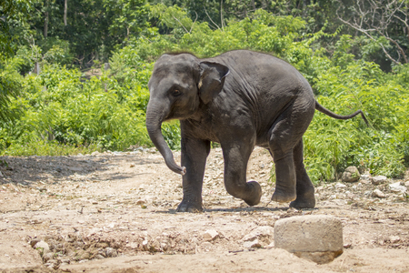 Image of a young elephant on nature background in thailand. Stock Photo
