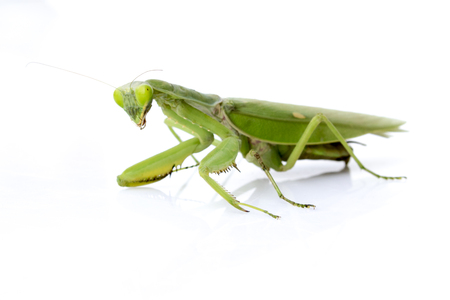 mantid: Image of a green mantis on white background. Insect.