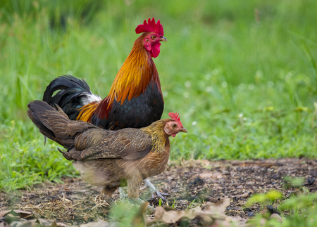 Image of a cock and hen on nature background. Farm Animals.