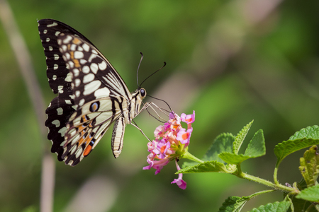 the magnificent: Beautiful butterfly perched on a flower. Insect Animals. Stock Photo