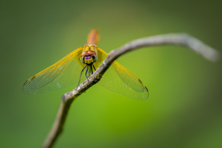 black textured background: Image of dragonfly perched on a tree branch on nature background. Insect Animals. Stock Photo