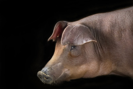 bristles: Image of a pig on a black background. Farm Ainmal