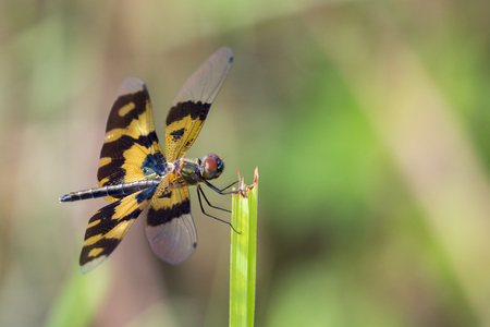 variegated: Image of a dragonfly (Rhyothemis variegata) on nature background. Insect Animal