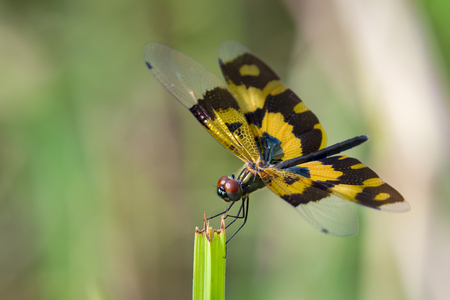 Image of a dragonfly (Rhyothemis variegata) on nature background. Insect Animal