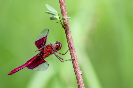 red animal: Image of a red dragonflies (Camacinia gigantea) on nature background. Insect Animal