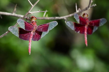 gigantea: Image of a red dragonflies (Camacinia gigantea) on nature background. Insect Animal